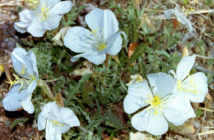 Oenothera albicaulis (Whitest Evening Primrose)
