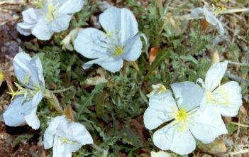 Oenothera albicaulis (Whitest Evening Primrose)