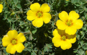 Oxalis albicans (Radishroot Woodsorrel)