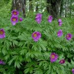 Paeonia anomala (Anomalous Peony)