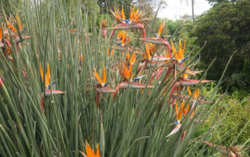 Strelitzia juncea (Narrow-leafed Bird of Paradise)