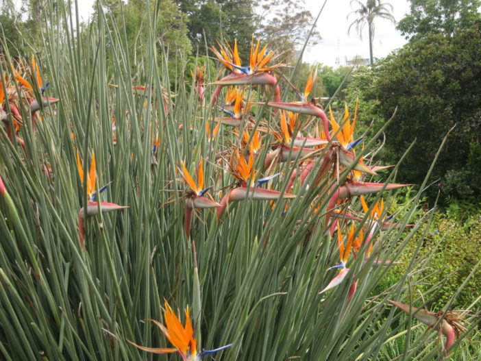 Strelitzia juncea (Narrow-leafed Bird of Paradise)