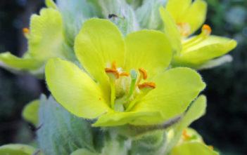 Verbascum thapsus (Common Mullein)