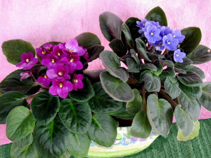 Getting African Violets Bloom