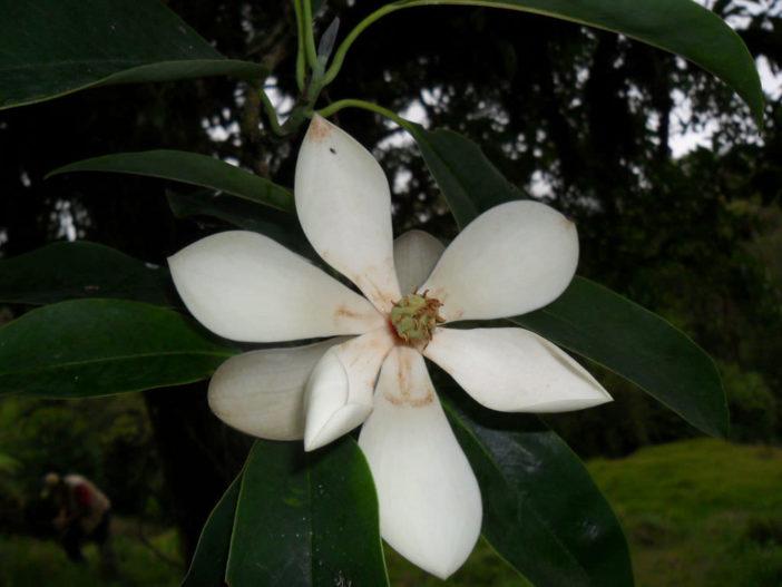 Magnolia poasana (Poas Magnolia)