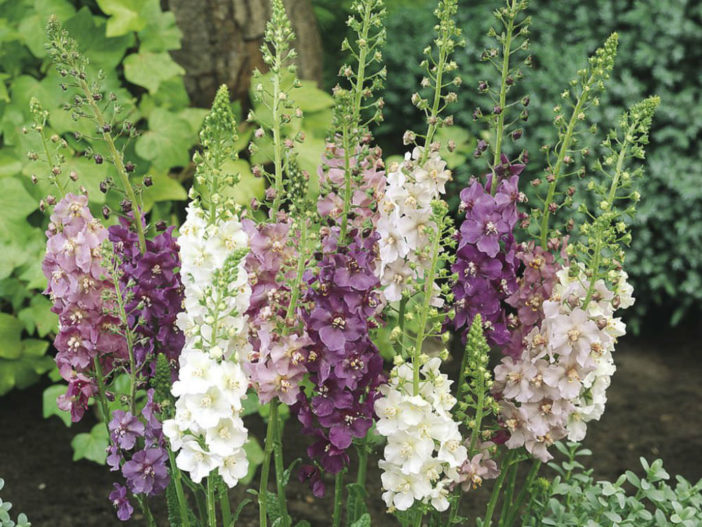 Grow and Care Mullein (Verbascum)