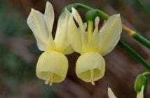 Narcissus triandrus subsp. pallidulus