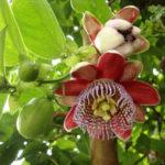 Passiflora alata (Winged-stem Passion Flower)