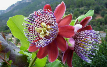 Passiflora alata (Winged-stem Passion Flower)