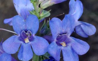 Penstemon acuminatus (Sharpleaf Penstemon)