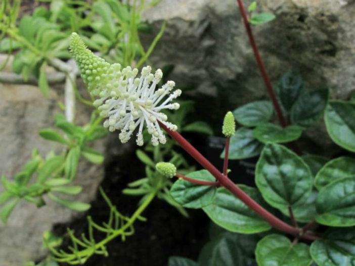 Peperomia fraseri (Flowering Peperomia)