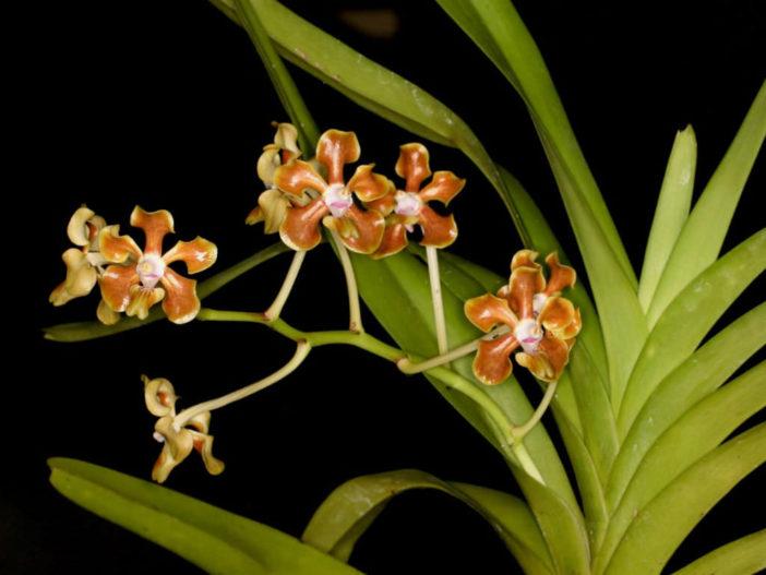 Vanda hindsii (Native Strap Orchid)