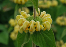 Phlomis russeliana (Turkish Sage)