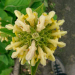 Phlomis russeliana (Turkish Sage)