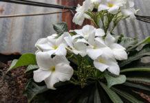 Plumeria pudica (Bridal Bouquet)