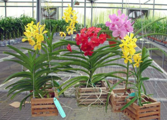 How to Grow and Care for Vanda Orchids