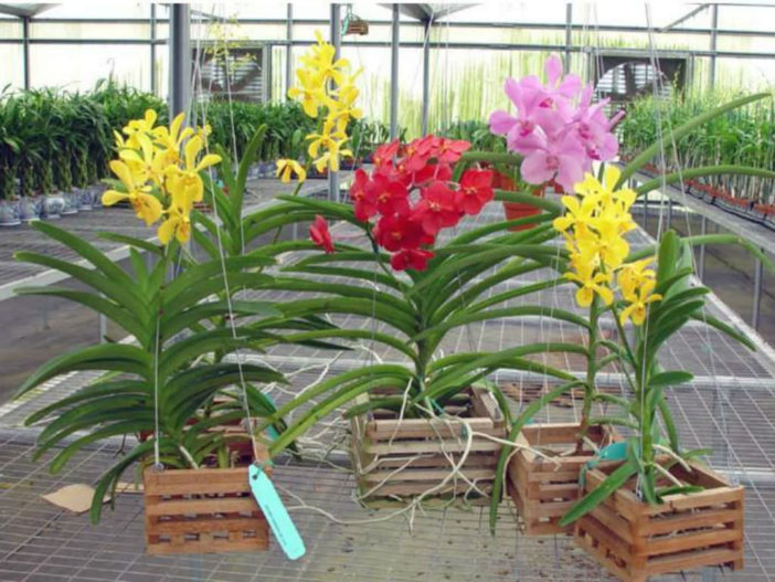 Grow and Care Vanda Orchids