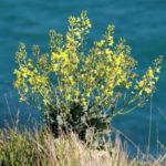 Brassica oleracea (Wild Cabbage)